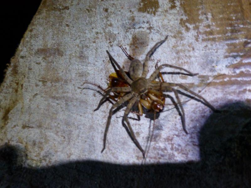 brousse-araignee-mangeant-un-cafard
